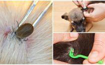 Cum să eliminați o bifă de la un câine la domiciliu