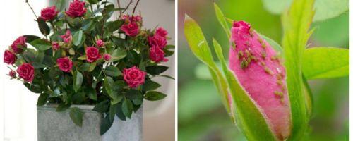 Afide pe trandafiri - cum să se ocupe și cum să scapi
