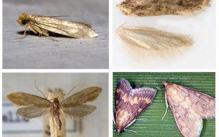 Ce ajută din molii și larvele ei