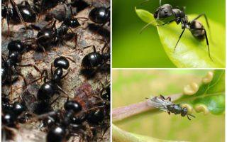 Tipuri de furnici în Rusia și în lume