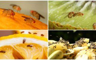 Drosophila muște