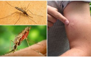 Ce să faceți dacă sunteți mușcați de un țânțar anopheles