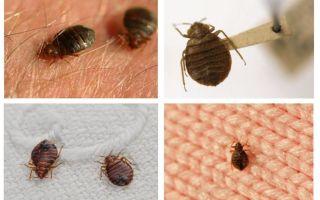 Dacă bug-urile trăiesc în perne și pături