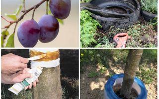 Cum să ne ocupăm de furnici pe prune