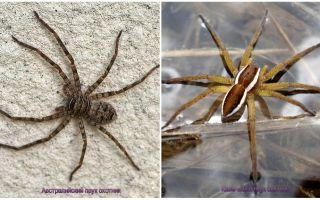Păianjen vânător australian