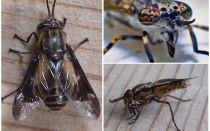 Descrierea detaliată și fotografii gadflies