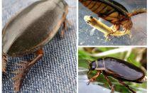 Beetle gândac