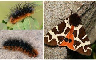 Descriere și fotografie caterpillar Kera