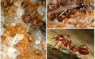 Fiare de furnici