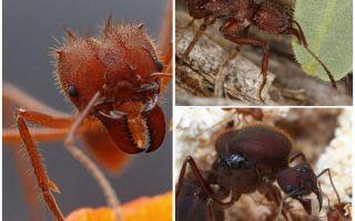 Furnizori de frunze de furnici