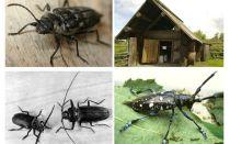 Beetle woodcutter fotografie și descriere