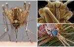 Mosquito într-o vedere mai mare