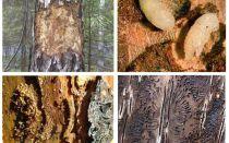 Cum să ne ocupăm de gândacul de coajă într-o casă din lemn