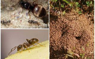 Grădini negre furnici
