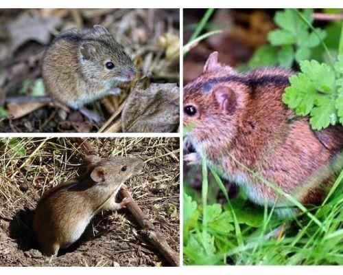Șoarecii de câmp
