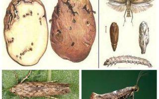 Moluarea cartofilor - măsuri de control al stocării