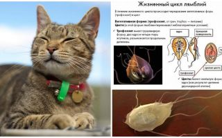 Simptomele și tratamentul giardiei la pisici
