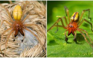 Descrierea și fotografia păianjenului Sak (Heiracantium)