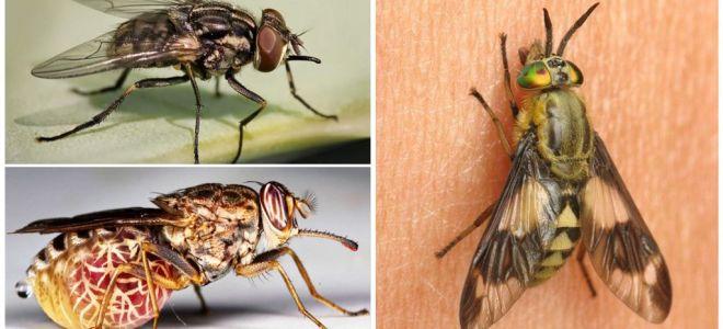 Soiuri de muște cu fotografii și descrieri