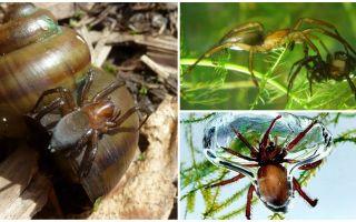Spider de apă (păianjen de argint)