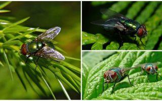 Descriere și fotografie de zbor verde carrion