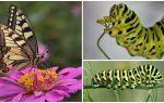 Descrierea și fotografia osoasă a fluturelui Machaon