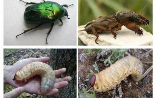 Care este diferența dintre larvele ursului și gândacul