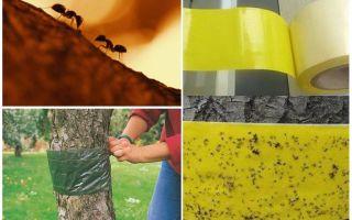 Cum să se ocupe de furnici în copacii din grădină