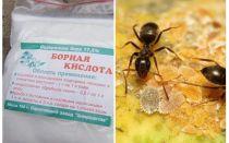 Acid boric împotriva furnicilor din apartament și grădină
