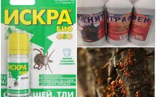Cum să ne ocupăm de furnici și afide pe măr