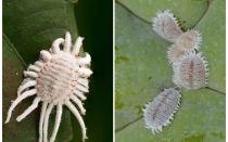Cum să scapi de mealybug pe plante de interior