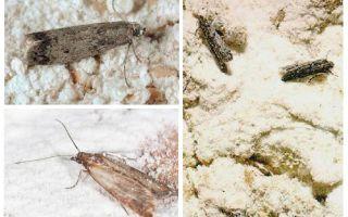 Cum să scapi de făină de molii în bucătărie