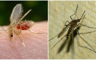 Care este diferența dintre țânțarii și țânțarii?