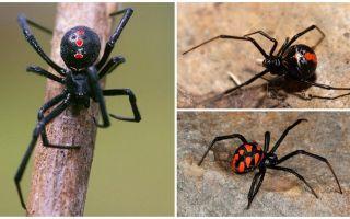 Soiuri de păianjeni cu nume și descrieri