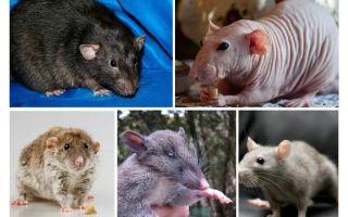 Speciile de șobolani