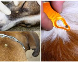 Îmbătrânire la câine - simptome, efecte și tratament la domiciliu