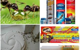 Cum să distrugi furnicile și mândria