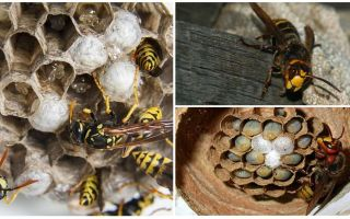 Cum să eliminați cuibul de viespe