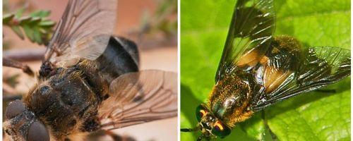 Diferența dintre gadfly și orb
