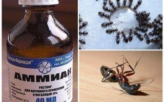 Amoniacul din furnici și afide