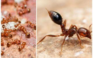 Cum să scapi de micile furnici roșii într-un apartament