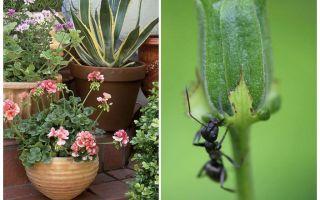 Cum să elimini furnicile dintr-un vas de flori