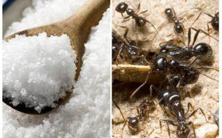 Sare împotriva furnicilor din grădină