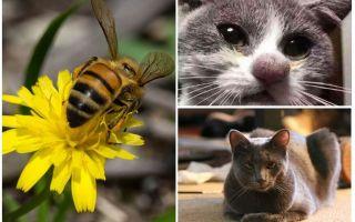 Ce să faci dacă o pisică este mușcată de o albină