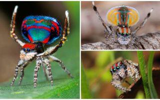 Descrierea și fotografia păianjenului păun