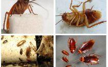 Cum arată gândacii, fotografiile, tipurile și descrierea lor