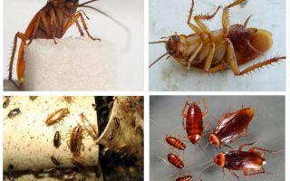 Prusac roșu de gândaci și cum să scapi de el
