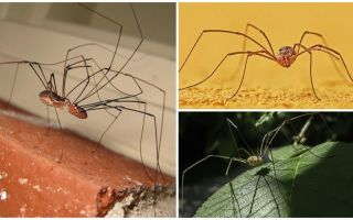Spider kosa cu picioare lungi subțiri