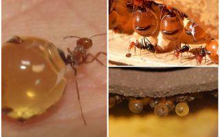 Miere de furnici