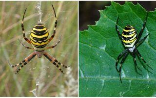 Spider viespe cu dungi galbene pe spate
